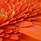 Gerbera Daisy Detail by AnnieD