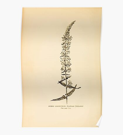 Harper's Guide to Wild Flowers 1912 Creevey, Caroline and Stickney, Alathea 091 Spiked Loostrife Poster