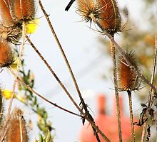 Goldfinches on Teasel by missmoneypenny