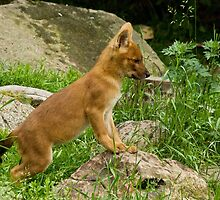 Tiny Dhole