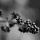 Black Grapes. by Paul Pasco