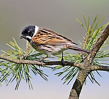 Reed Bunting perched on branch by Robert Flynn