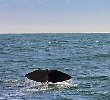 sperm whale, tail down, Kaikoura Peninsula , New Zealand   by Christopher Barton