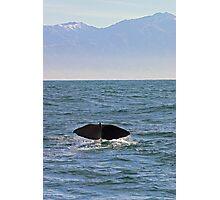 sperm whale, tail down, Kaikoura Peninsula , New Zealand   Photographic Print