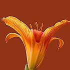 Day Lily 2 by kittyrodehorst