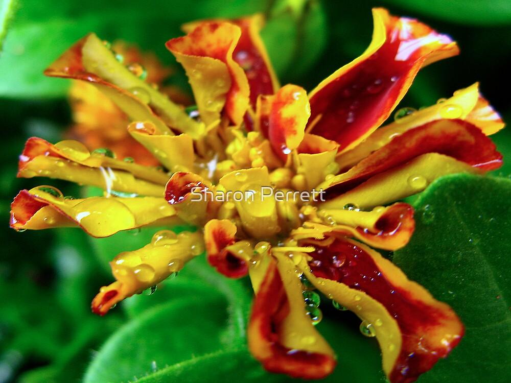 A Marigold by Sharon Perrett