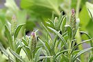 Lavender Pink - Budding Out by MotherNature
