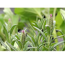 Lavender Pink - Budding Out Photographic Print