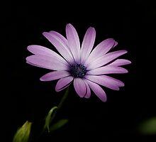 Purple Bloom by David Cash