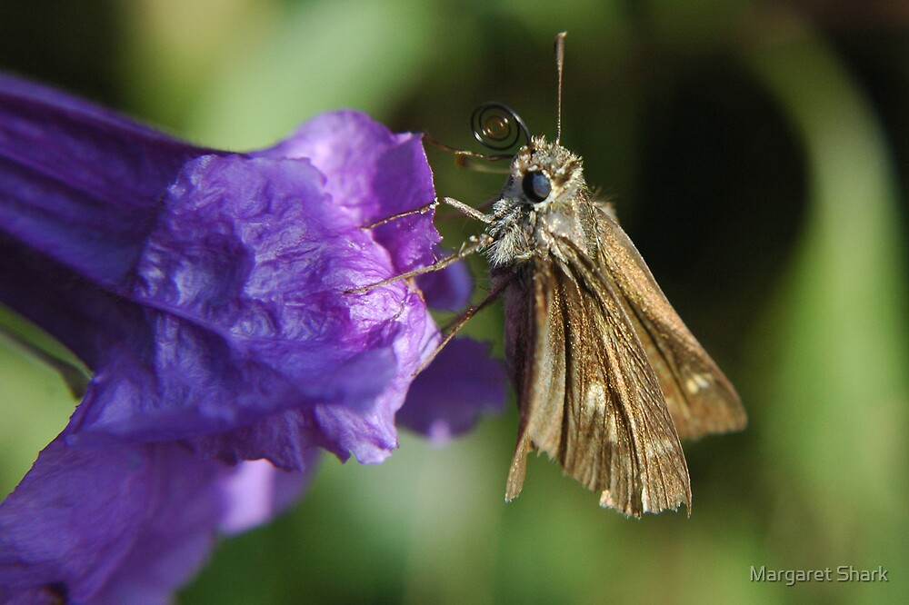 Skipper on Mexican Bluebell by Margaret  Shark