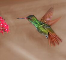 Rufous-tailed hummingbird in flight by hummingbirds
