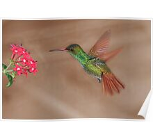 Rufous-tailed hummingbird in flight Poster