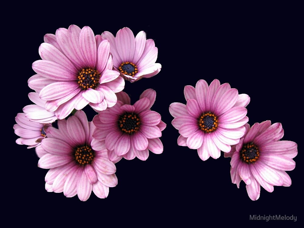 Plethora of Pink Petals - Daisy Delight by MidnightMelody
