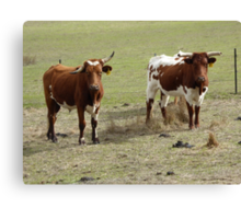 'OOOPS! MY HORN SLIPPED!' Longhorns behind our fence. Canvas Print