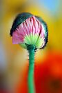 Budding Poppy by Renee Hubbard Fine Art Photography