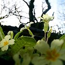A faerie perspective of primroses by Amanda Gazidis