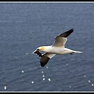 Gannet in Flight! by Shaun Whiteman