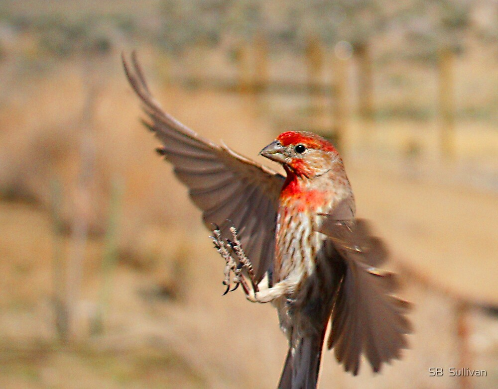 House Finch by SB  Sullivan
