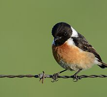 Stonechat - I by Peter Wiggerman