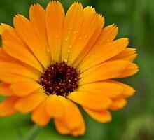 orange flower sun summer green by Klaus Vartzbed