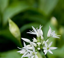A Touch of Wild Garlic by Derek Brown