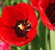 Scarlet Spring by Derek Brown