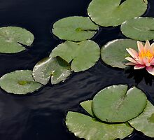 Water Lily  by Lindsaycope