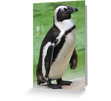 Random African Penguin