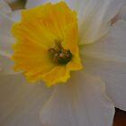 Daffodil by Geraldine Miller
