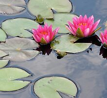 Pink Water Lilies by Lindsaycope