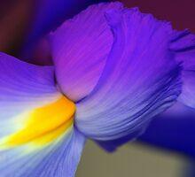 Purple Iris by sstarlightss