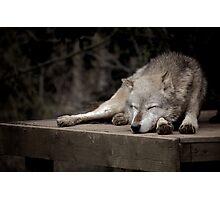 Sleeping Wolf Photographic Print