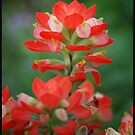 Indian Paintbrush by Colleen Drew