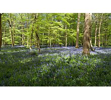 Bluebells Coxsetter's wood   Photographic Print