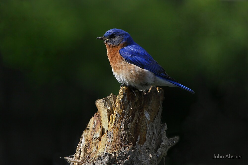 Eastern Bluebird 2 by John Absher