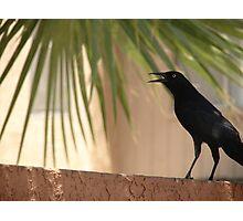 Mr. Blackbird Photographic Print