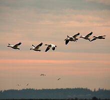Snow Geese in the Flight by Olga Zvereva