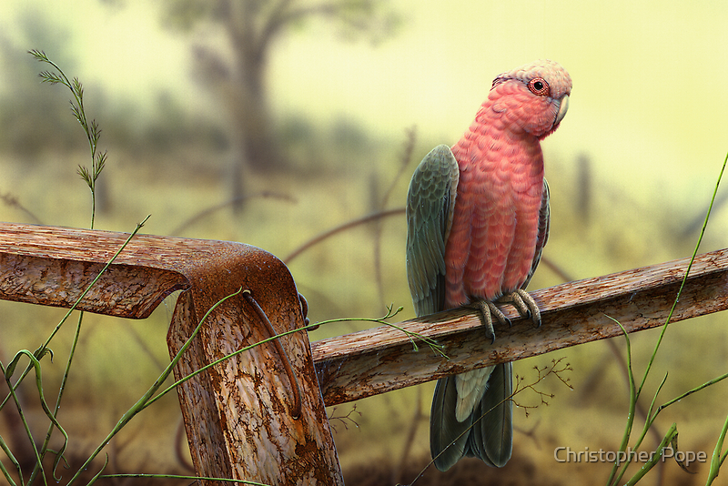 Galah by Christopher Pope