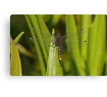 Large White-Faced Darter Canvas Print