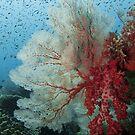 Soft corals of Pulau Tioman (1) by Marcel Botman