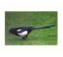 Long Tailed Magpie Art Print