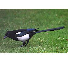 Long Tailed Magpie Photographic Print