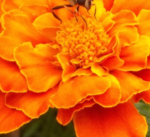 The Hoverfly and the Marigold Sticker