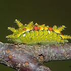 Spiny Oak Slug Moth Caterpillar by DigitallyStill