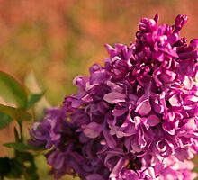 Sunburnt Lilac by Susan Brown