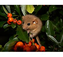 Pretty Dormouse