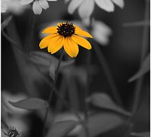 Single Isolated Yellow Black Eyed Susan Flower in Black and White Garden Background by jocelynsart