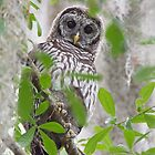 Little Barred Owl in the woods by Eivor Kuchta