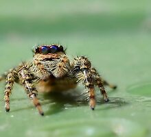 Jumping Spider 2 by relayer51
