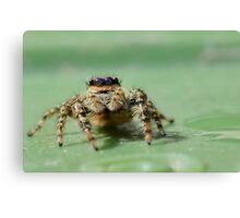 Jumping Spider 2 Canvas Print